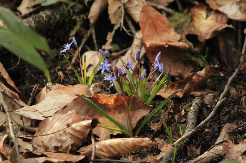 Пролеска двулистная (Scilla bifolia)