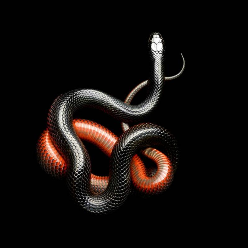 Serpentine, серия великолепных портретов самых смертельно опасных змей