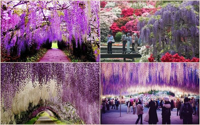 Парк цветов Асикага находится в одноименном городе в японской провинции Точиги нао Хонсю (Япония). П