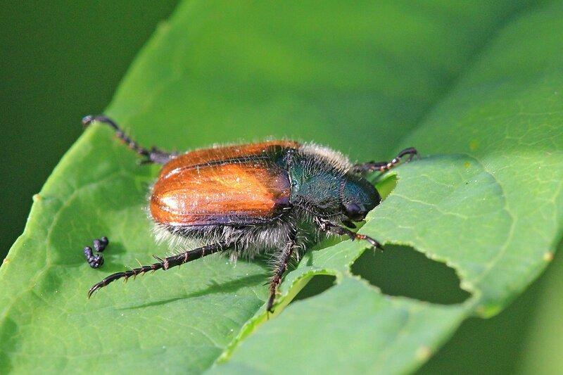 Обед хрущика садового (лат. Phyllopertha horticola) с коричневой спинкой и тёмно-зеленой головой грызёт листик дерева