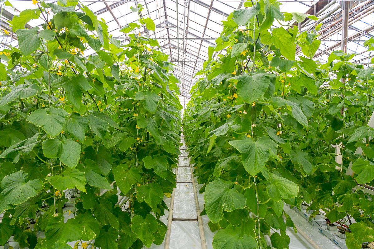 Агрокомплекс Волга выращивание огурцов фото 5