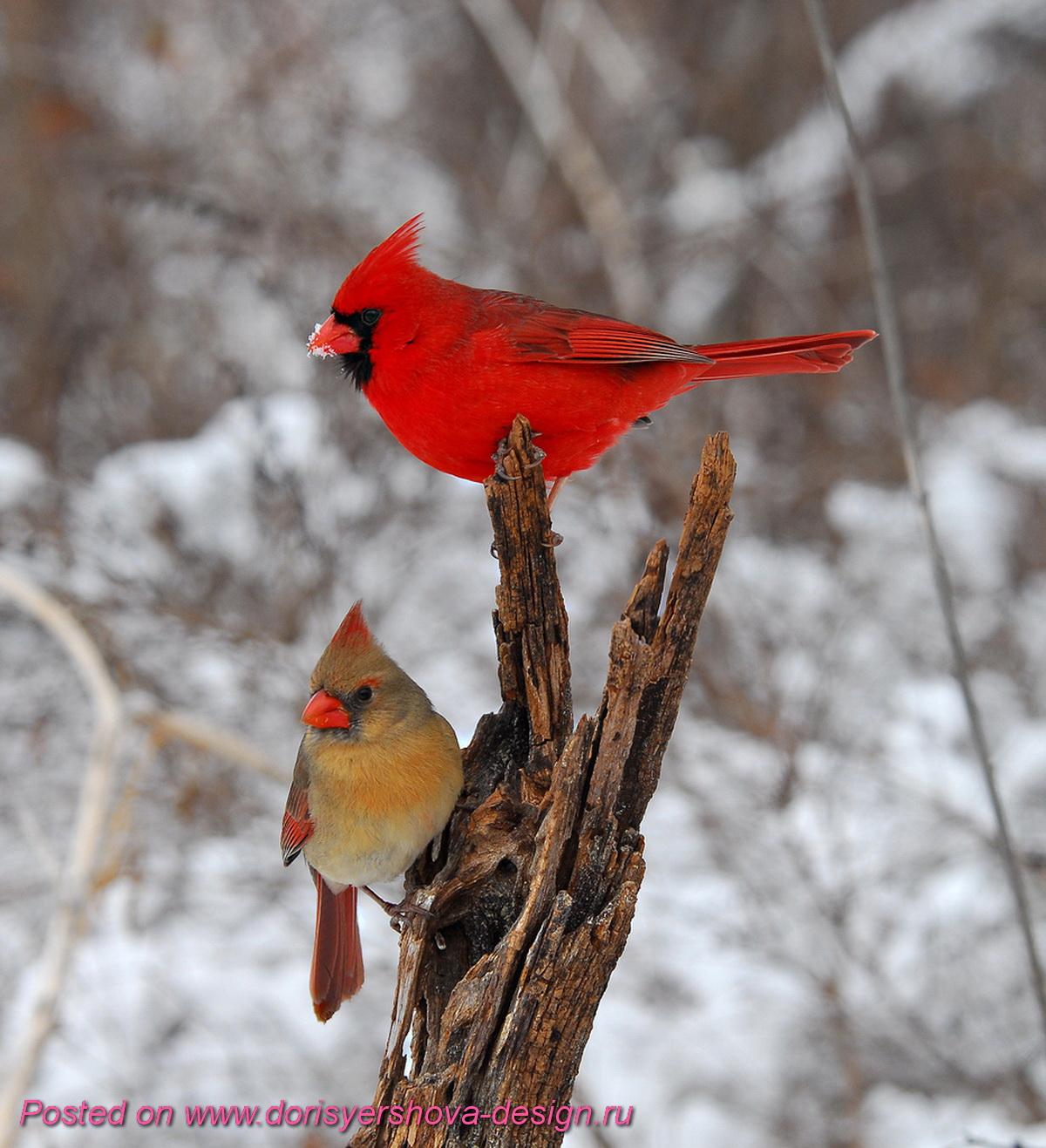 красный кардинал, самец и самка