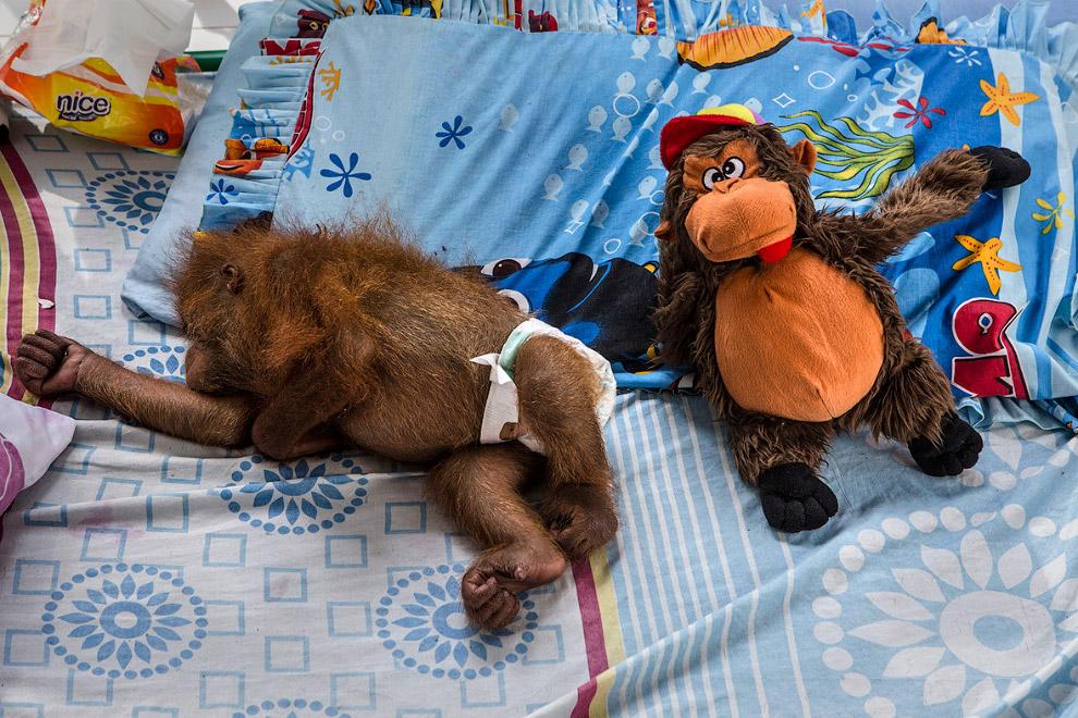 Кстати, слово «орангута?нг» применяется, в основном, в разговорной речи, в зоологии употребляет