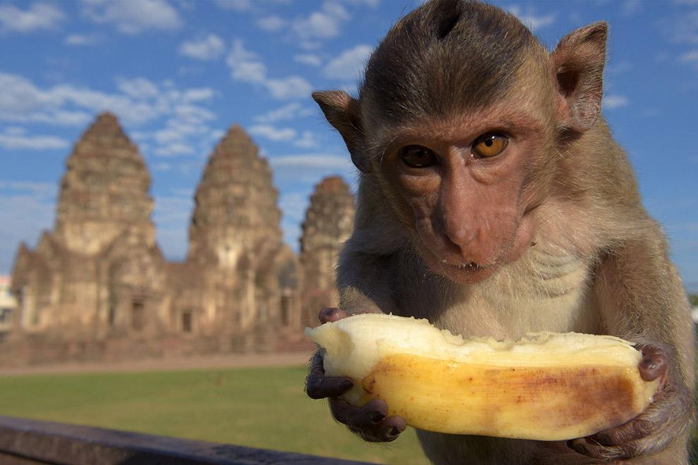 Впрочем, праздник у обезьян не только возле храма, они пируют и в городе. Ломбури, Тиаланд, 27 ноябр