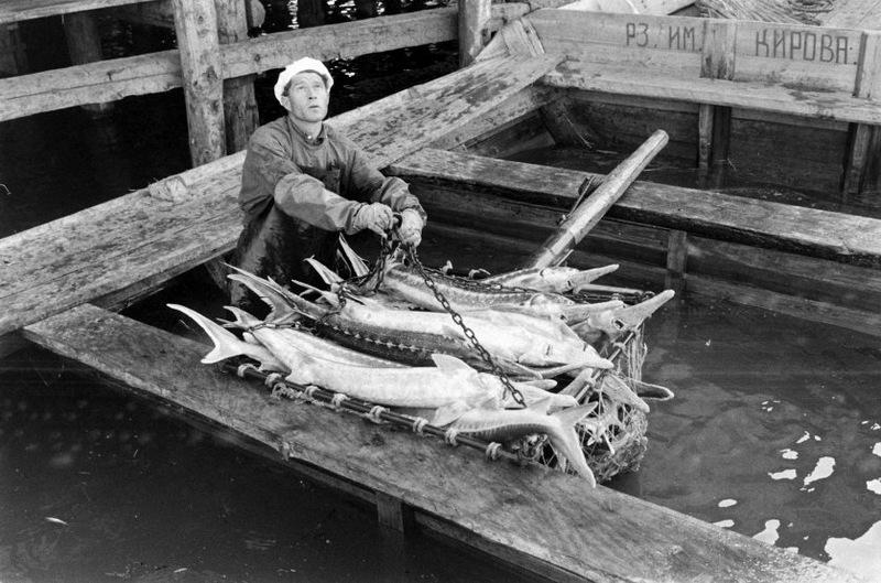 Осетров вынимают из лодки, чтобы отправить на комбинат для обработки.