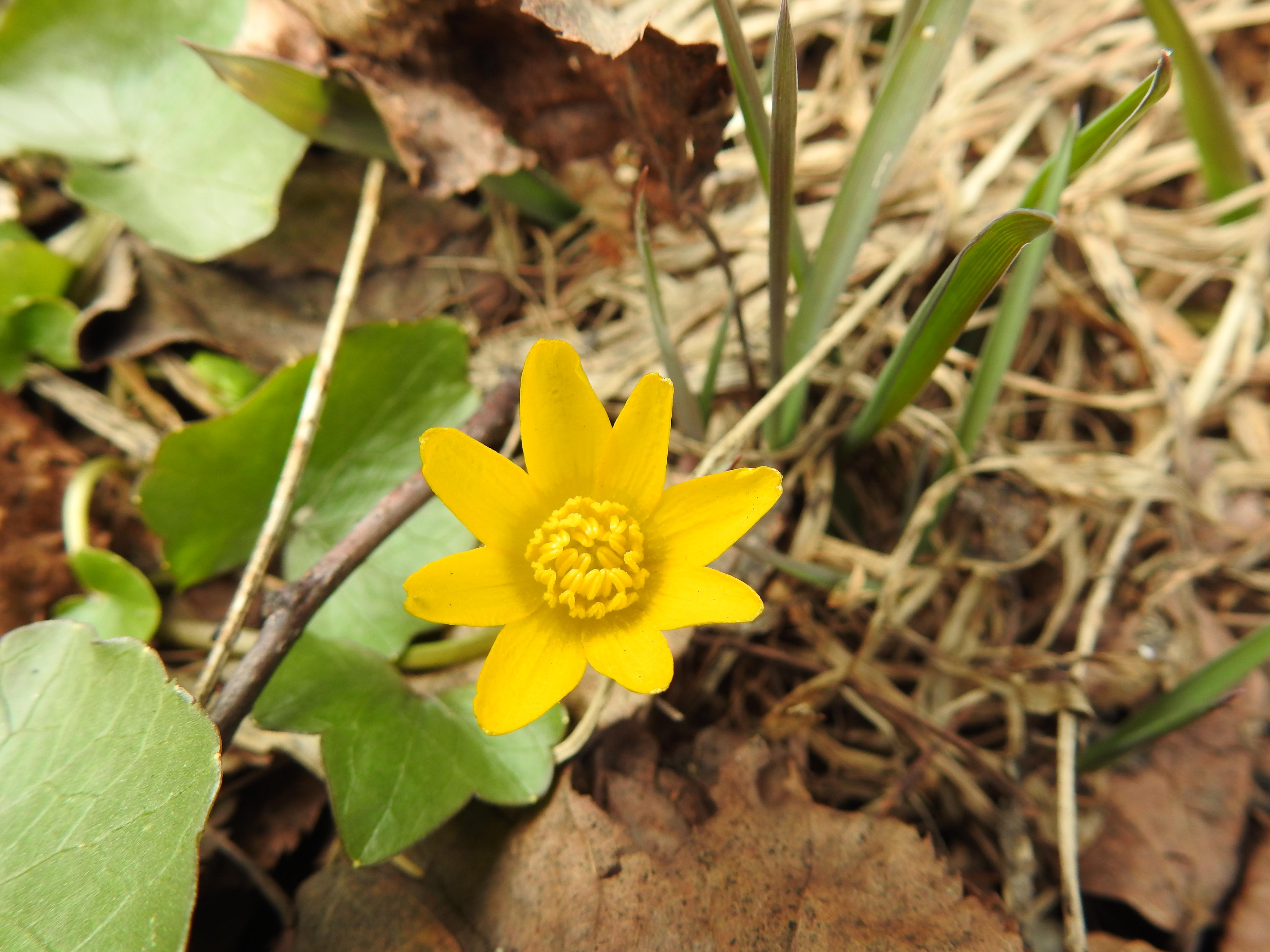 Первоцветы Битцевского леса
