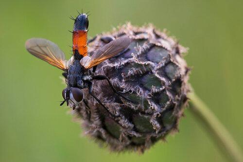 Альбом:  Мир под ногами/  Двукрылые - Diptera / Tachinidae - Тахины или ежемухи Автор фото: Владимир Брюхов