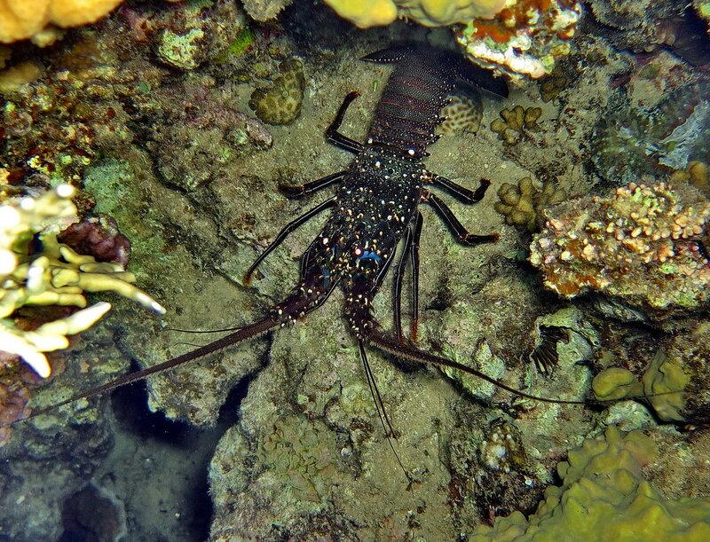 Красноморский лангуст (Panulirus penicillatus)