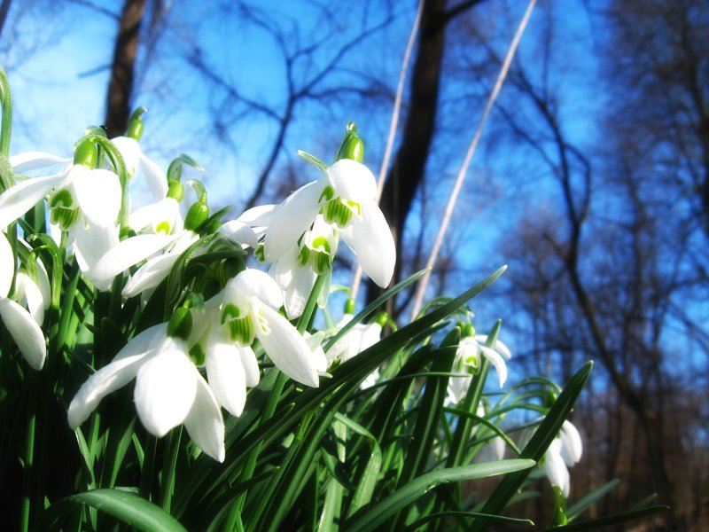 весна-подснежник-3.jpg
