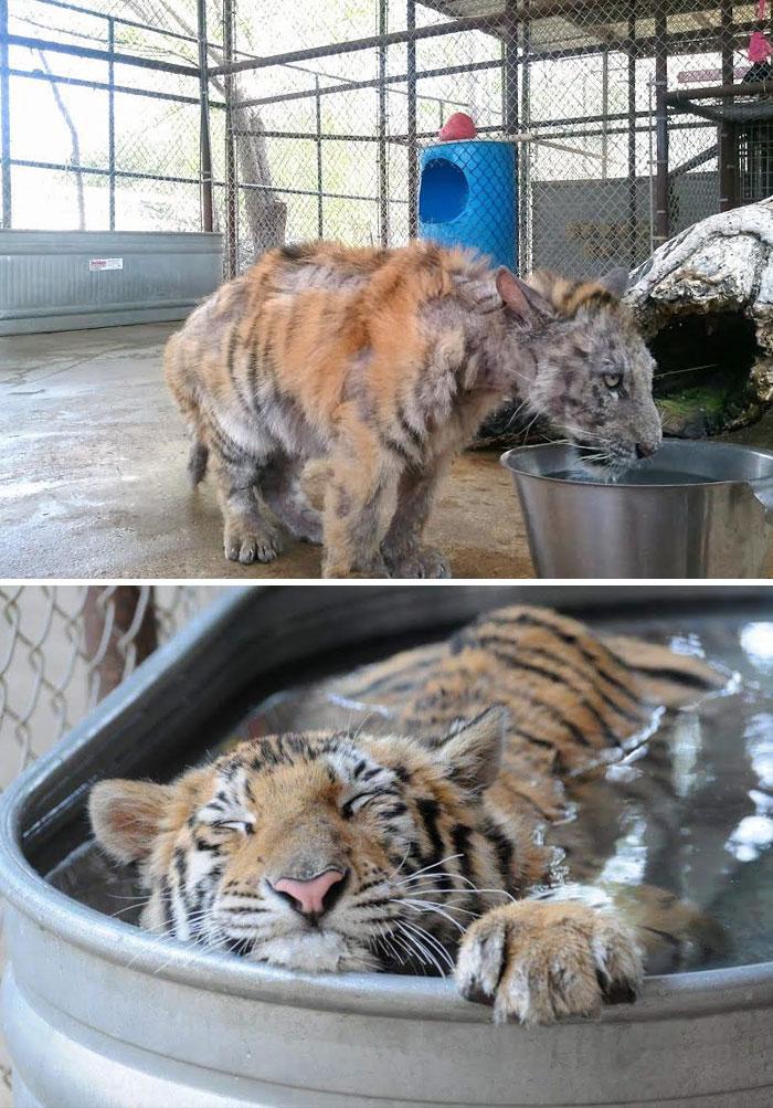 Больного тигренка , весившего в 4 раза меньше нормы, спасли, забрав из цирка. Он чудом выздоровел.