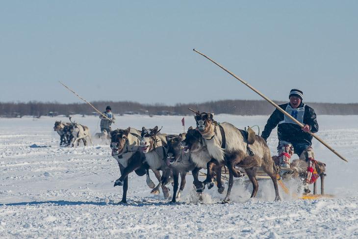 Путешествие по тундре и День оленевода (39 фото)