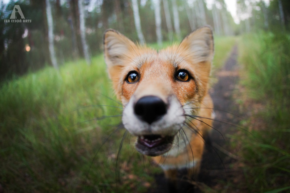 Эта лисичка очень хочет занять место котиков винтернете