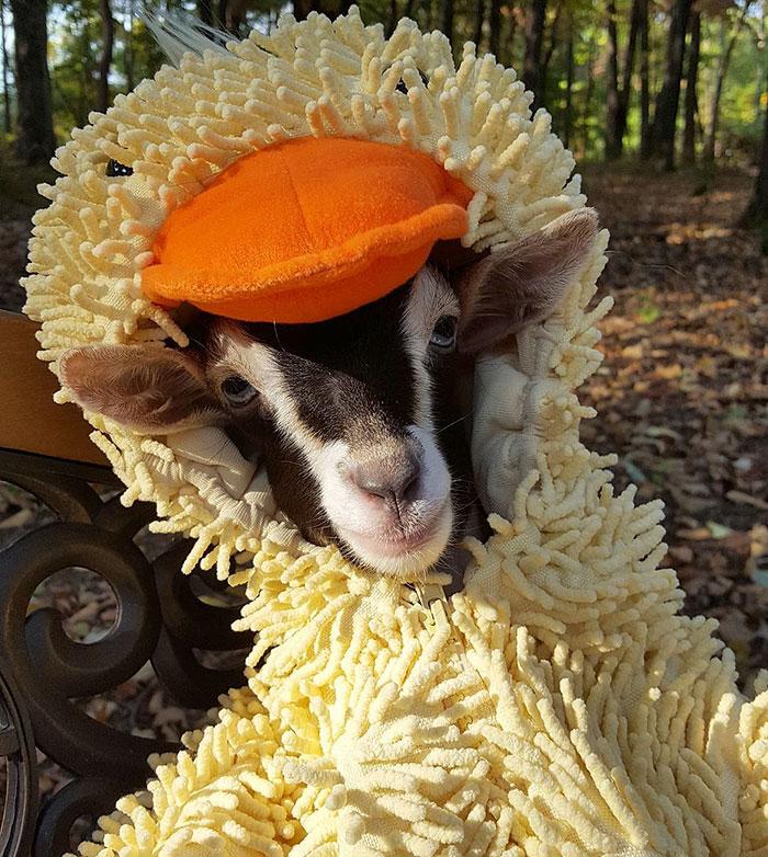 Слепая коза, страдающая от тревоги, может успокоиться только в своем любимом костюме утки (6 фото)