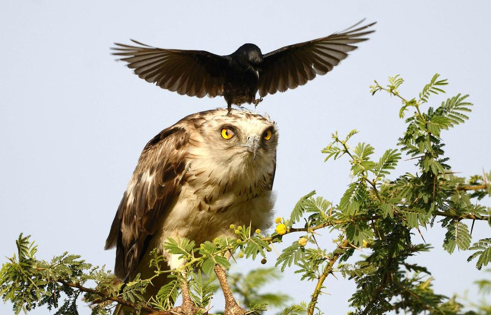 5. Орел с честью терпел все эти наглости. (Фото Greaves B. Henriksen):