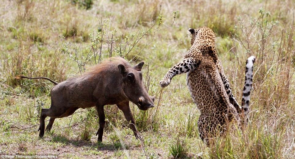 От леопарда не убежать. У бородавочника нет вариантов, ему приходится атаковать, надеясь на уда