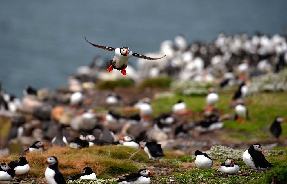 Гнездятся тупики группами или колониями по обрывистым морским берегам. Питаются мелкой рыбой. (