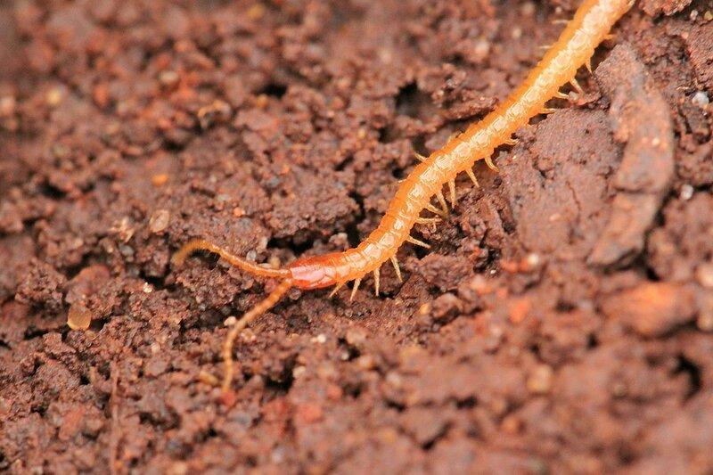 Рыжая с красноватой головой многоножка-геофил (Geophilomorpha) с множеством лапок и длинными гибкими усиками среди комочков земли