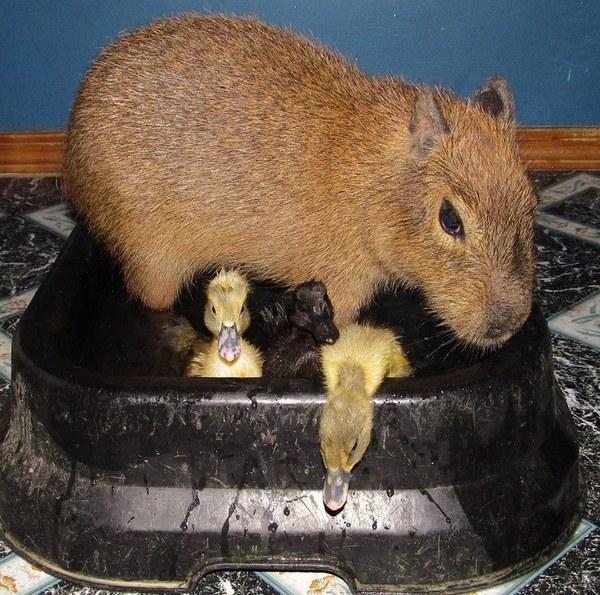 Капибара Чизкейк самое дружелюбное животное в приюте