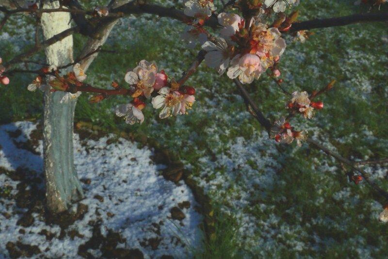 apricot1.JPG