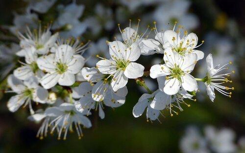 Цветки яблони - www.GdeFon.ru