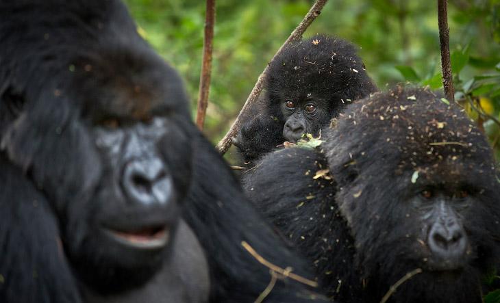 2. Горная горилла — один из двух подвидов восточных горилл и подвид находится на грани исчезновения.