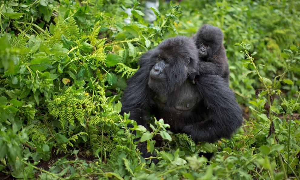 4. Между восточной горной гориллой и восточной равнинной гориллой существует около 29 морфологи