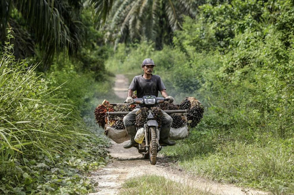 Качественное пищевое пальмовое масло, по утверждениям ученых-нутрициологов, не опасно для здоро