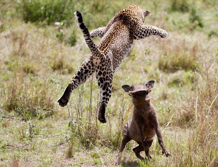 Виртуозы охоты: летающий леопард (12 фото)