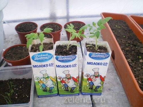 Пересадка рассады томатов в более просторные ёмкости.