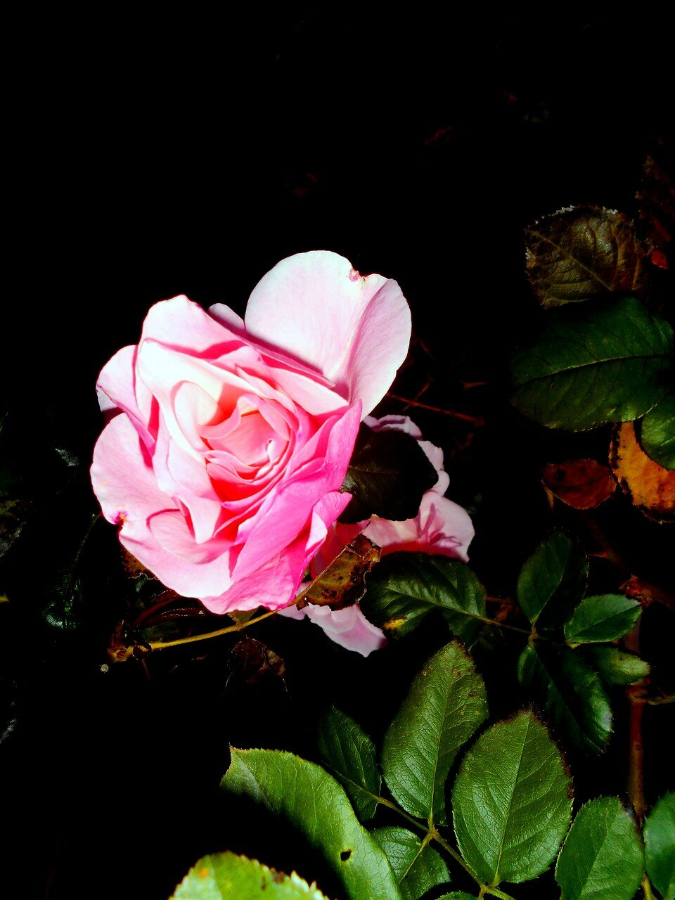 Цветок, в октябре ... DSCN9710.JPG