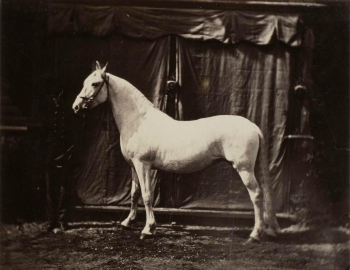 36. Обозреватель выставки пишет «Русские лошади возбуждают общее внимание на выставке»