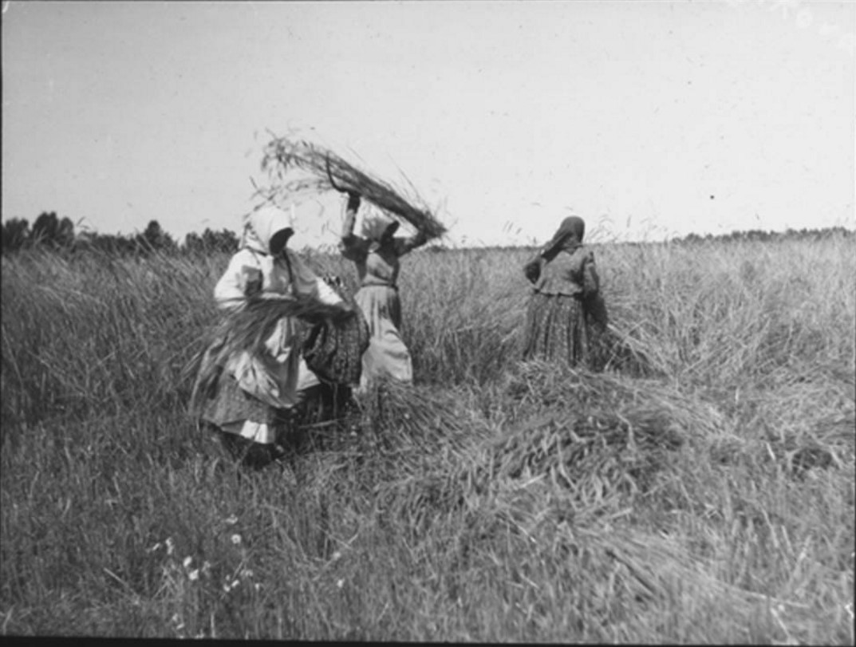 21. Три женщины в поле пожинают урожай