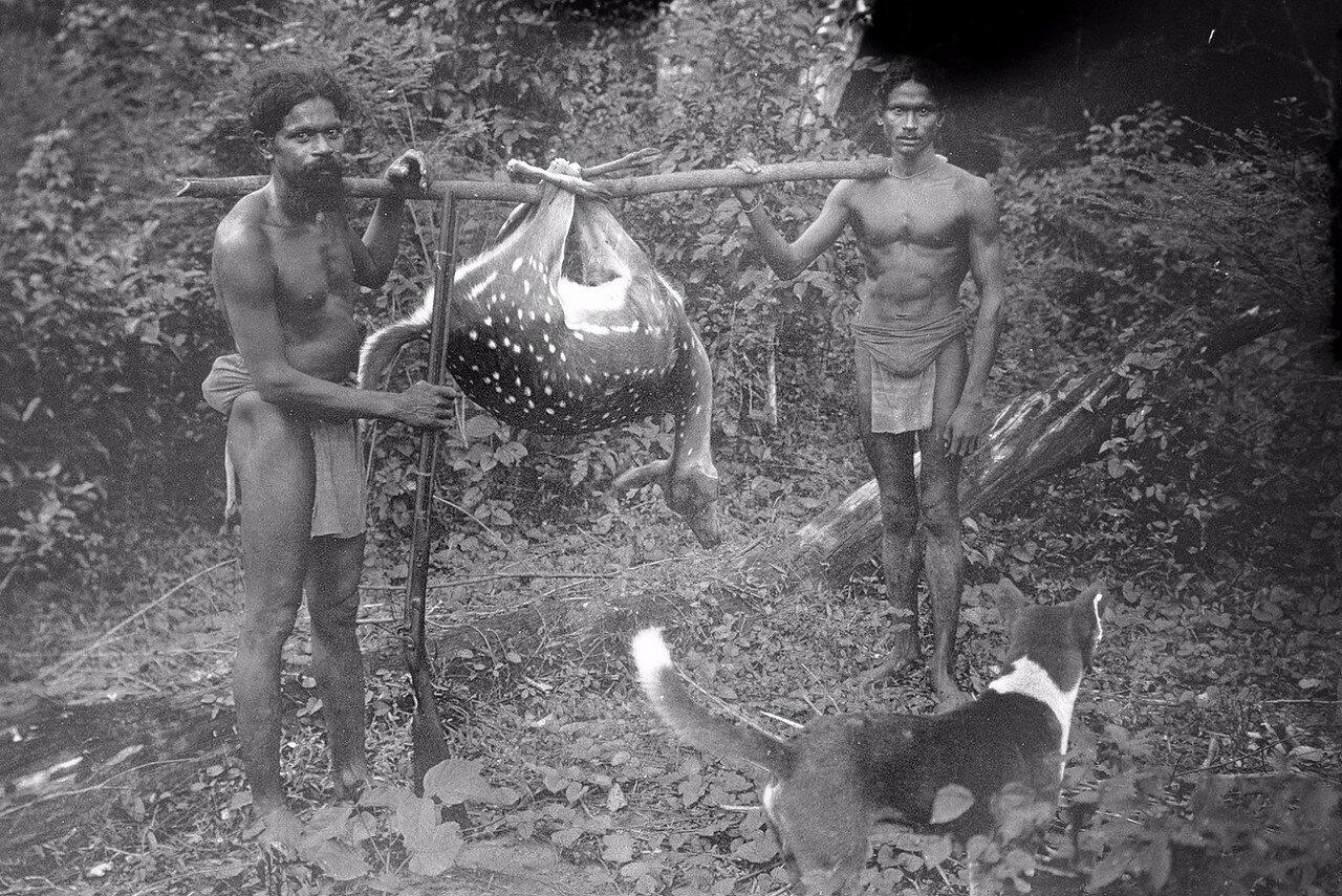 138. Два ведда во время транспортировки затравленный лани возле лагеря экспедиции группы в Хенебедде