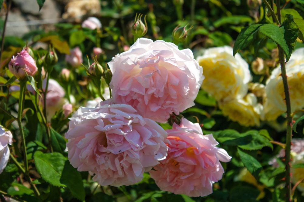 Розы дэвида остина фото в саду