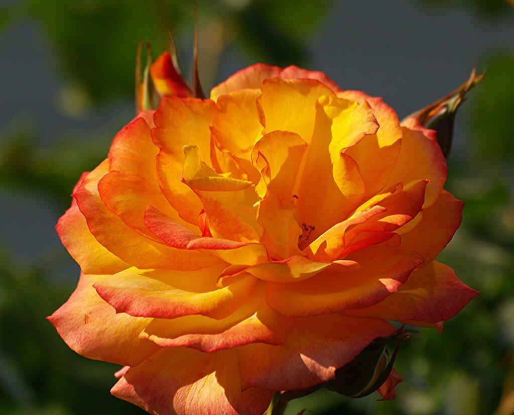 """Роза """"Сахара"""""""