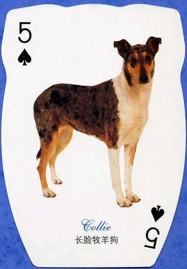 Smooth collie playing card