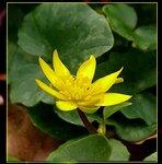 Чистяк весенний (Ficaria verna/ Ranunculaceae), семейство лютиковые