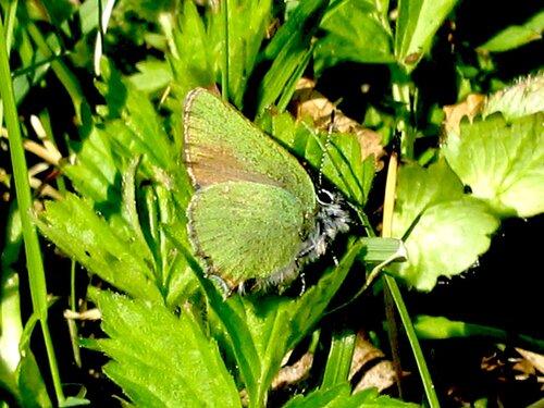 Голубянка малинная Callophris rubi