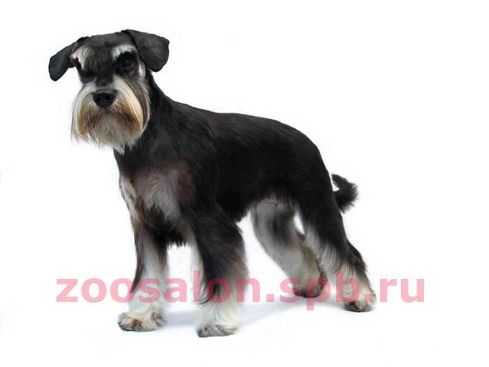 Фото - Привет.ру - Шнауцер - Стрижки для собачек разных пород. - фотографии пользователя Zoosalon_Spb.