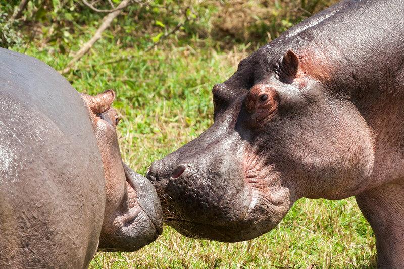Гиппопотам (Hippopotamus amphibius)