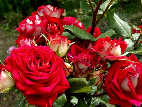 Июньские розы...6