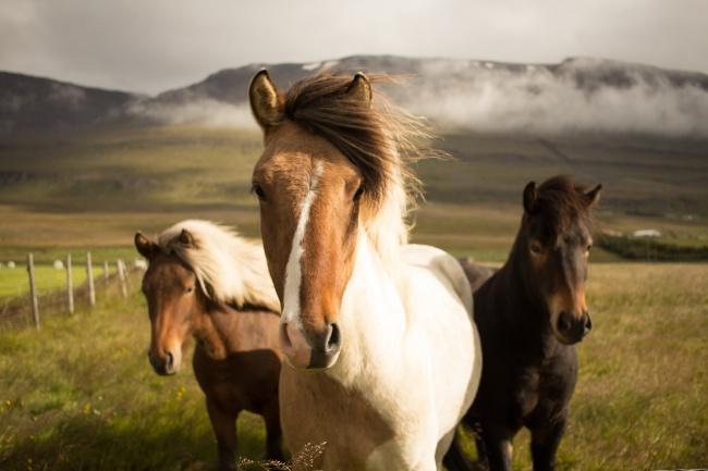 Исландские лошади, наверное, самые стильные идружелюбные лошади напланете. Аеще уних просто шика