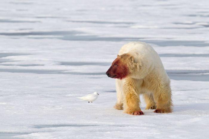 Белый медведь после еды