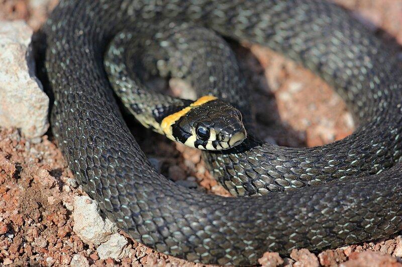 Уж обыкновенный (Natrix natrix) - змея тёмно-серого цвета с чёрным узором и жёлтыми «ушами» - яркими пятнами в задней части головы