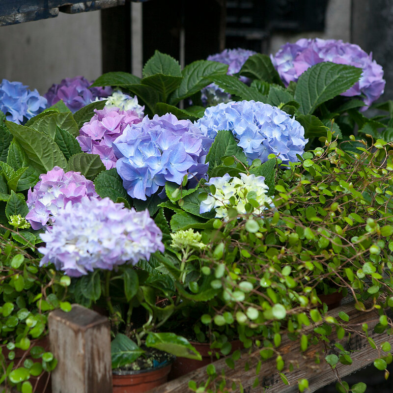 pink and purple, violet hydrangea macrophylla. Flower in flower`s shop . Summer time. Flowers standing on the wood bench