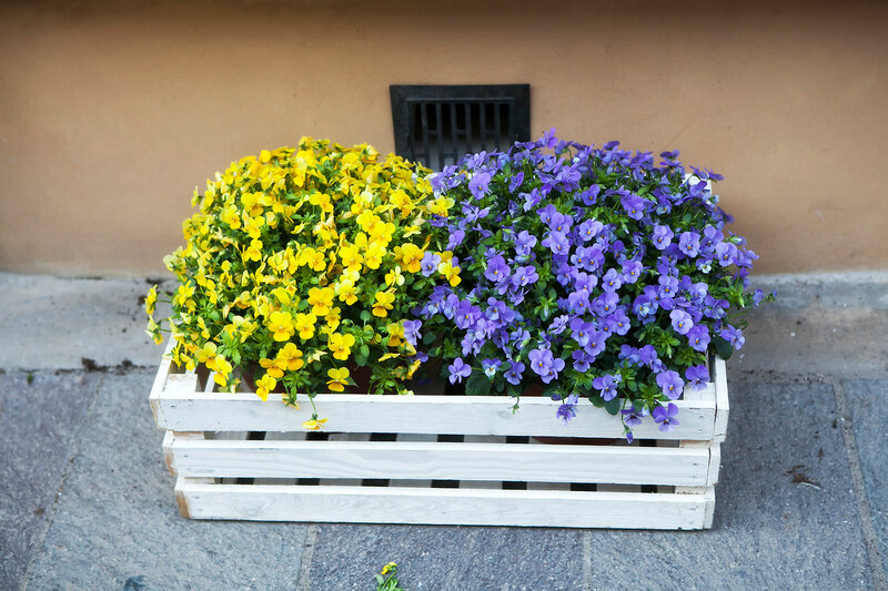 yellow and blue violets in a wooden box as decoration Street