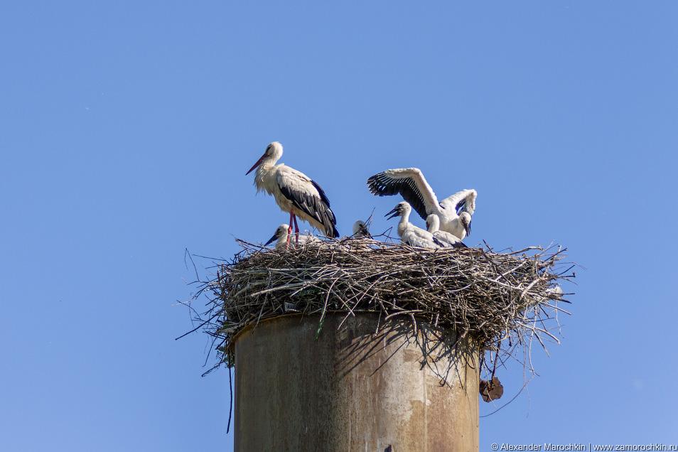 Взрослые аисты и птенцы в гнезде