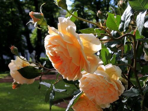 Розы Летнего сада