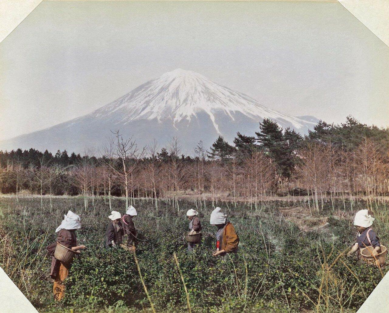 Японки собирают чайные листья на фоне горы Фудзи, 1895