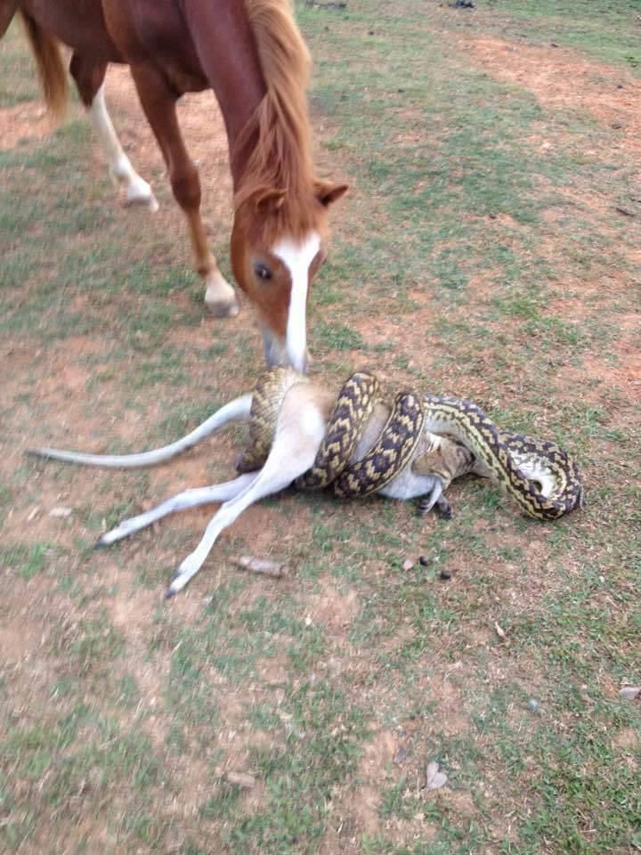 Питон пытается проглотить кенгуру. Лошадка в шоке
